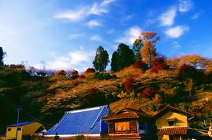 四季桜祭り 004.jpg