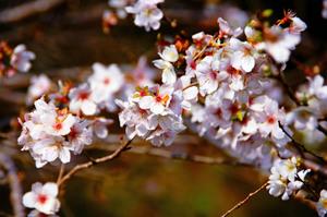小原桜まつり.jpg